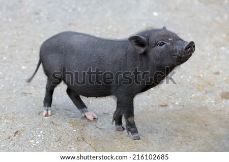 Little piglet breed Pot-bellied pig, animal living on the farm - stock photo