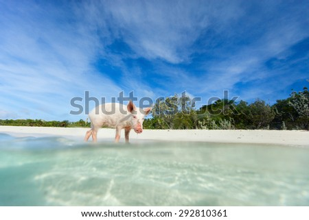 Little piglet in a water at beach on Exuma island Bahamas - stock photo