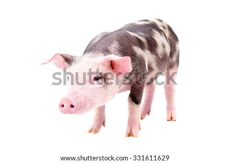 Little piglet standing isolated on white background - stock photo