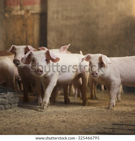 Little pigs at pig's farm. Shallow depth of field. - stock photo