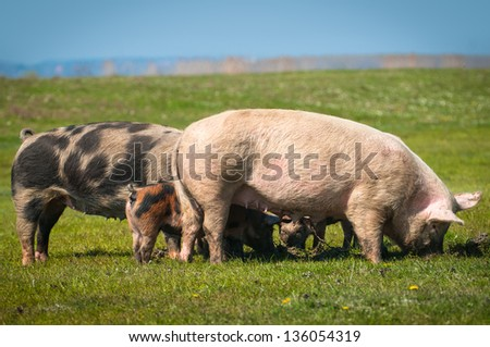 little pigs eat the grass - stock photo