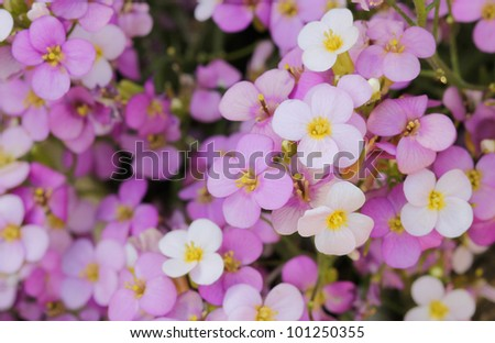 little pink and white saxifrage flowers in garden - stock photo
