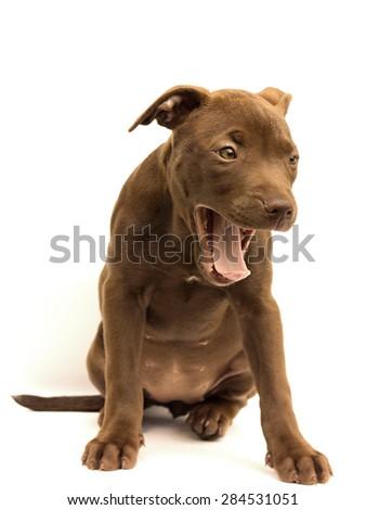 little pitbull on a white background - stock photo