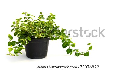 Little plant in a black  pot. Isolated on white background. Space for text. - stock photo