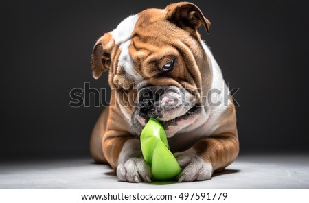 Little playful English bulldog pup in the studio