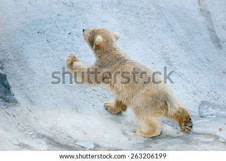 little polar bear baby goes up - stock photo