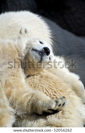 Little polar bear cub having a rest at his mom`s back - stock photo
