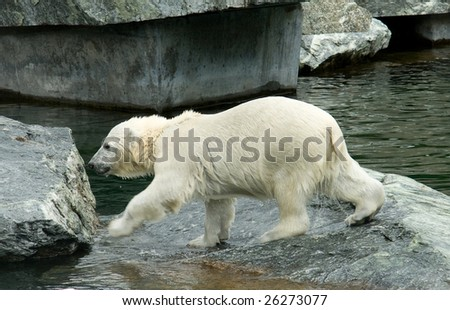 Little Polar Bear - Ursus Maritimus