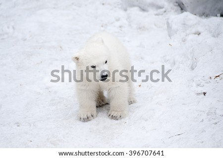 Little polar bear walking on the snow - stock photo