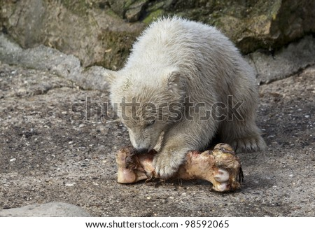 Little polar bear with a bone - stock photo