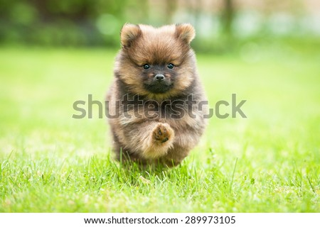 Little pomeranian spitz puppy playing in summer