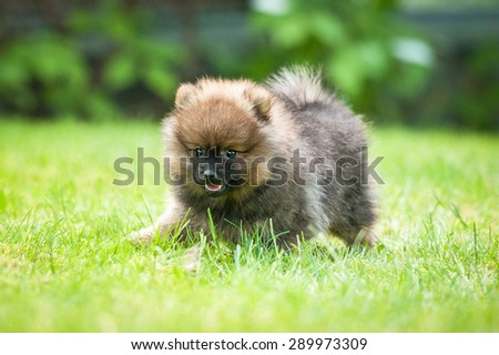 Little pomeranian spitz puppy playing on the lawn