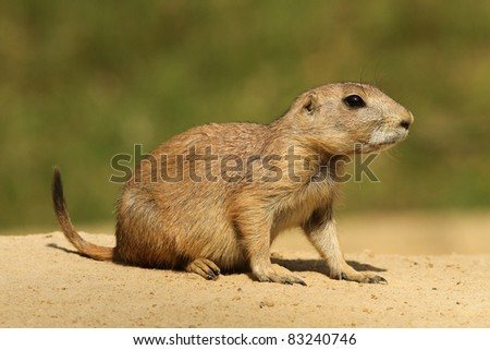 Little prairie dog - stock photo