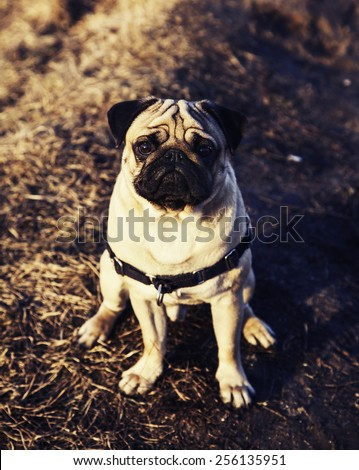Little pug dog standing infront of winter evening landscape with falling snow. Fog background with trees and dry grass covered with snow, pug dog walking on snow, pug dog - stock photo