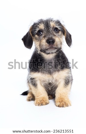 little puppies isolated on a white background - stock photo