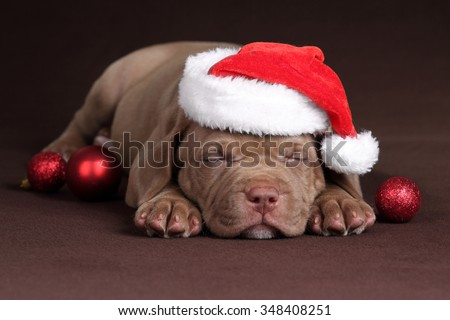 Little Puppy American Pit Bull Terrier in the hat of Santa Claus sleeps - stock photo
