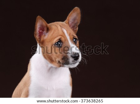 Little puppy basenji on a brown background, portrait
