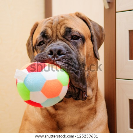 little puppy bullmastiff played in the house. close-up portrait - stock photo