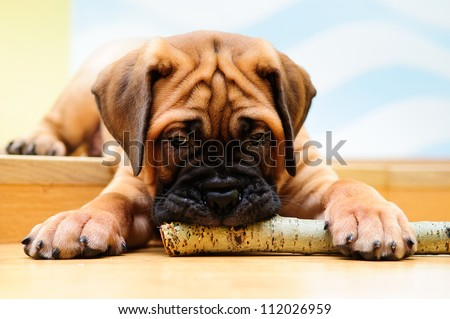 little puppy bullmastiff played in the house. gnaws a wooden stick - stock photo