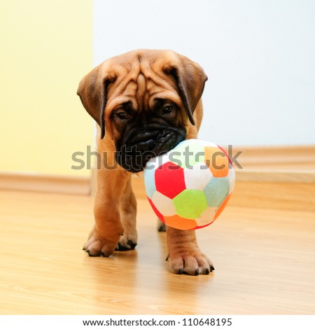 little puppy bullmastiff played in the house. square shape pictures - stock photo