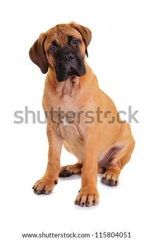 little puppy bullmastiff sitting on a white background, isolated