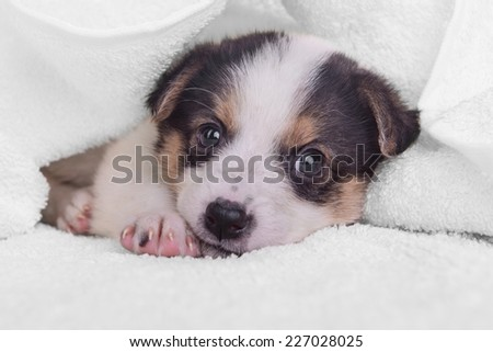 little puppy crossbreed. animal on white blanket - stock photo
