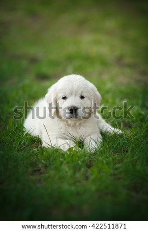 Little puppy Golden retriever,  park in the summer - stock photo