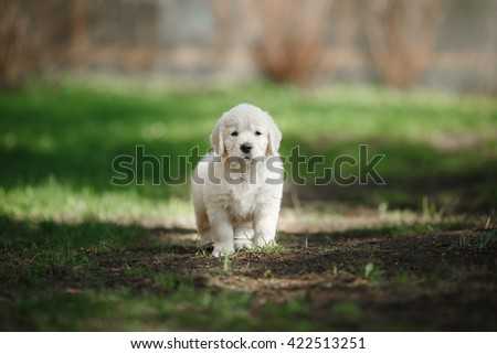 Little puppy Golden retriever, running, playing in the summer park - stock photo