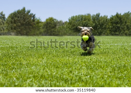 Little puppy running with a ball - stock photo