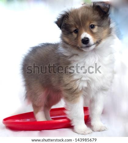 little puppy Shetland sheepdog - stock photo