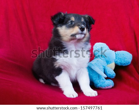 little puppy Shetland sheepdog is on red background - stock photo