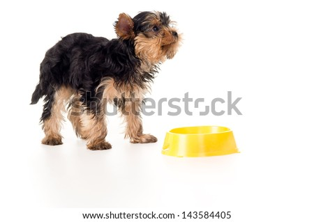 little puppy yorkshire terriers with a bowl - stock photo