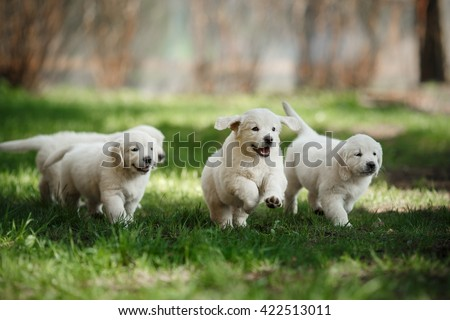 Little puppys Golden retriever,  running around, playing in the summer park - stock photo