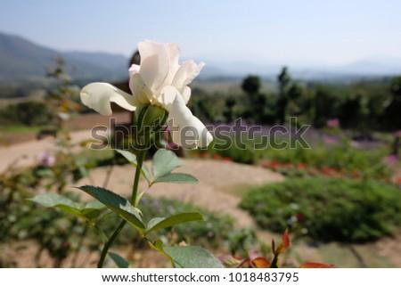 Little Purple Flower Rose Mountain.