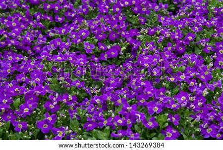 Little purple flowers horizontal stock photo edit now 143269384 little purple flowers horizontal mightylinksfo