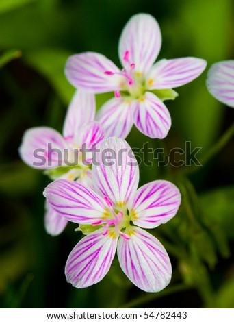 little purple white flowers - stock photo