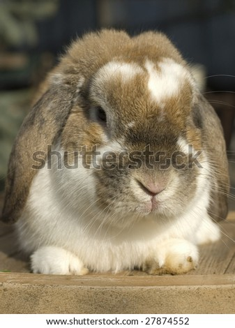 Little rabbit funny portrait with floppy ears sitting - stock photo