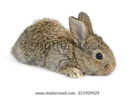 little rabbit isolated on white background - stock photo