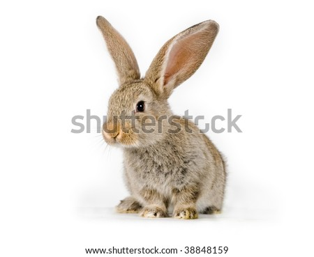 Little rabbit shot on white (she is a 6 weeks old Flemish Giant and will grow up to 20 lbs (9kg)! stay tuned) - stock photo