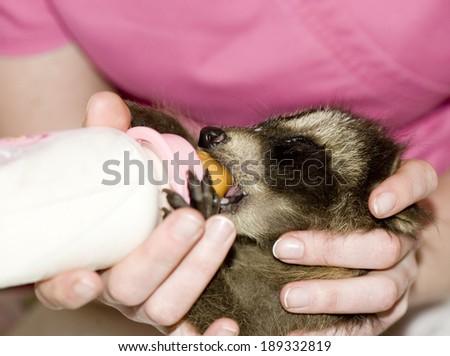 Little raccon fed of baby bottle - stock photo