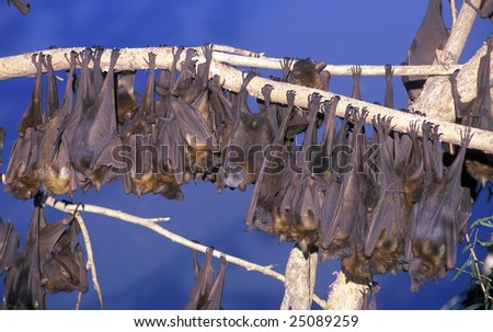 little red flying fox colony
