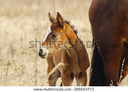 little red foal with a white blaze on her head are next to his mother in a field - stock photo