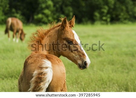 little red foal with a white blaze on his head standing in a field on the green grass