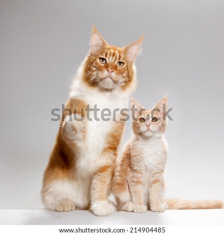 Little red kitten and a cat sitting looking at camera studio shot - stock photo