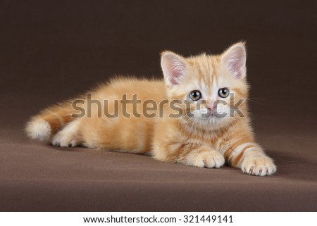 Little red kitten on a brown background
