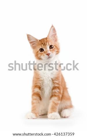 Little red kitten sitting on white background. Studio photography. - stock photo