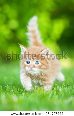 Little red kitten with blue eyes walking outdoors - stock photo