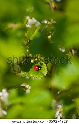 Little red ladybug on green leaf of white flowering bush; Beginning of spring - stock photo