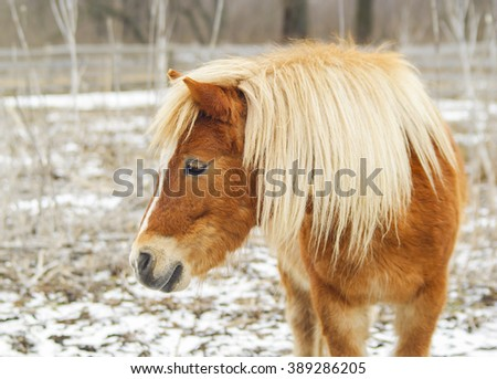 little red pony with a beautiful long white mane and a white blaze on his head walking on snow-covered field near a wooden fence