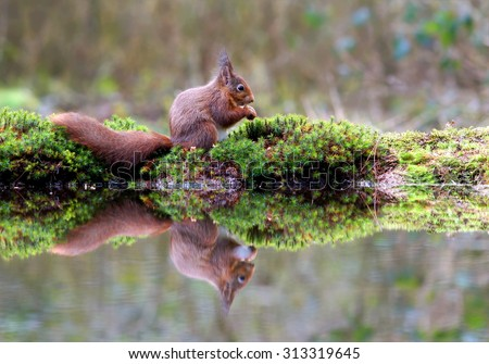 little red squirrel  in the forest searching for some food by the waterside what created a beautiful reflection in the water